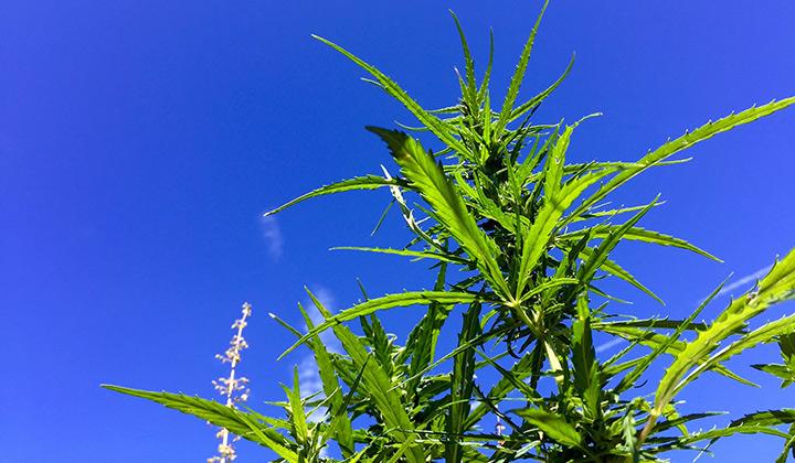 марихуана на воздухе