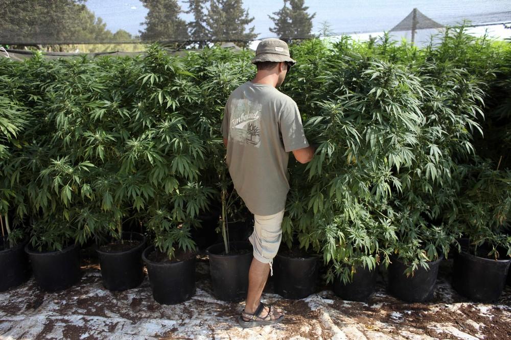 тгк-кбд-thc-cbd-кбд-марихуана-выращивание-конопли
