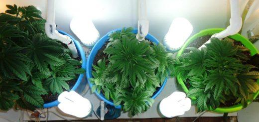 освещение-выращивание-конопля