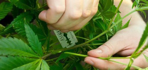 каннабис-семена конопли-сатива-индика-индор-аутдор