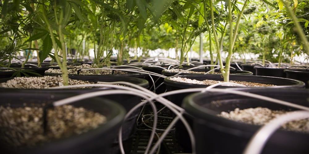 каннабис-семена конопли-сатива-индика
