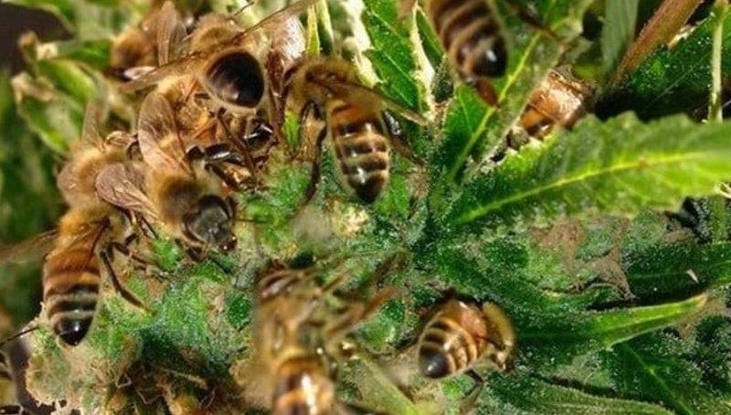 Марихуана в меде для чего полезны семена конопли